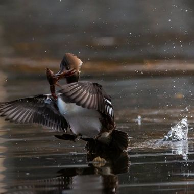 flying away with dinner