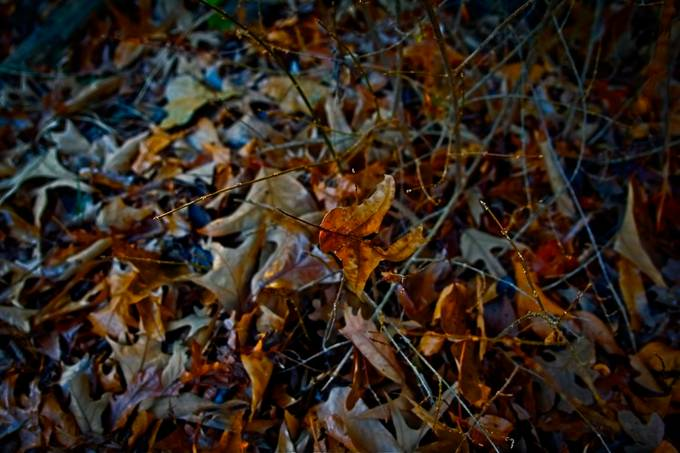 Took this on a walk about.  Processed it later not wishing to waste the image. I like the middle leaf. seems to be on it's way down.