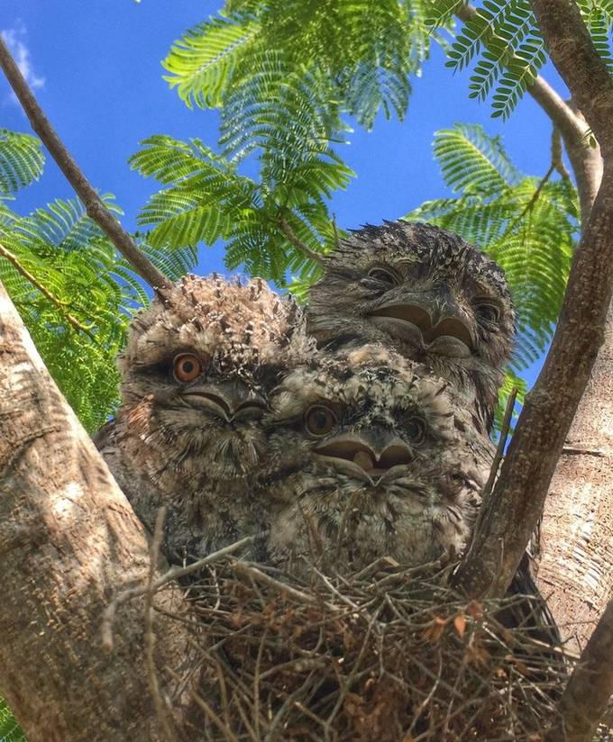 No, they are not owls, although they do look like them. They are Australian Tawny Frogmouths and although related to owls, their closest relatives are oilbirds, pootoos, owlet-nightjars and true nightjars. A pair chose to build a nest in a tree in my yard, produced two eggs and sat on them for a month. From laying the eggs, raising the chicks and then finally to the babies spreading their wings and flying off, took two months. They got used to me being around every single day, taking photos of each stage of the chicks' development, allowing me to get quite close. Here is a proud Dad with his kids; Mum was away looking for food.  As the babies grew, I was constantly warding off big birds looking for a tasty meal - magpies were the worst offenders but the babies made it and I feel privileged to have watched the whole event take place in my garden, with a successful outcome.  I'm now an empty nester (literally)!
