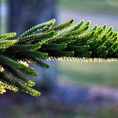Norwegian Pine Glowing