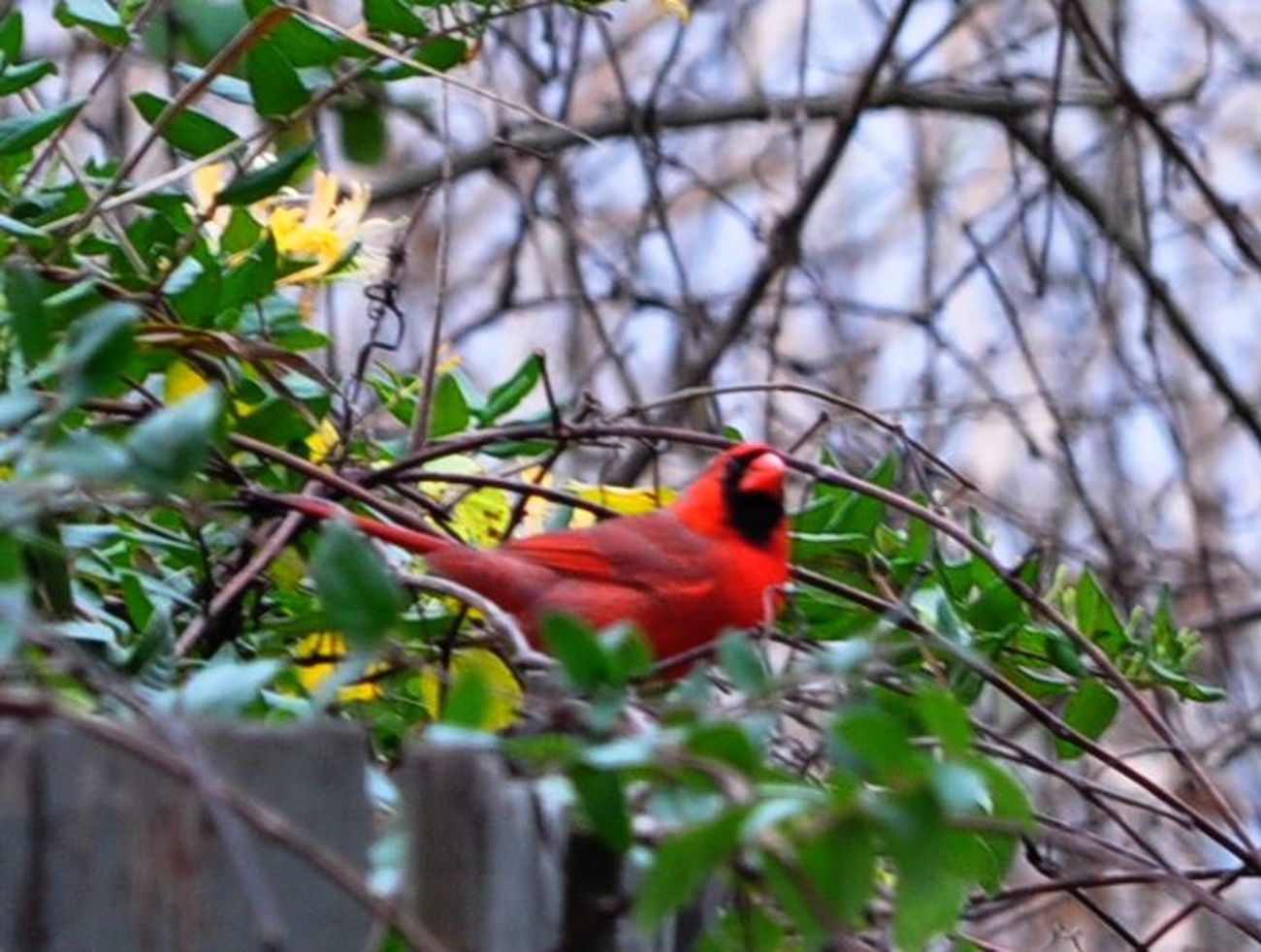 Sprig time Cardinal near the Patuxent River