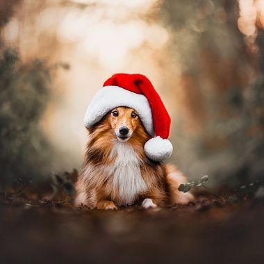Dogs at Christmas Time