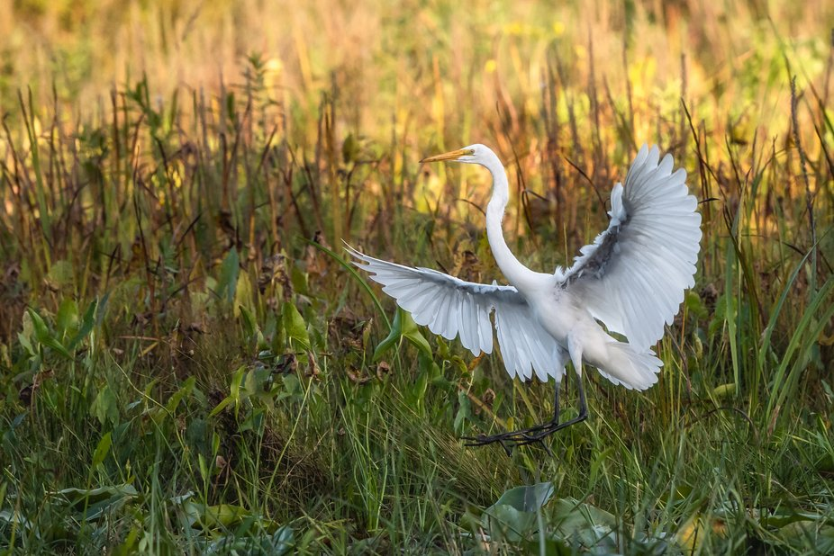 This is a great egret landing for finding food.