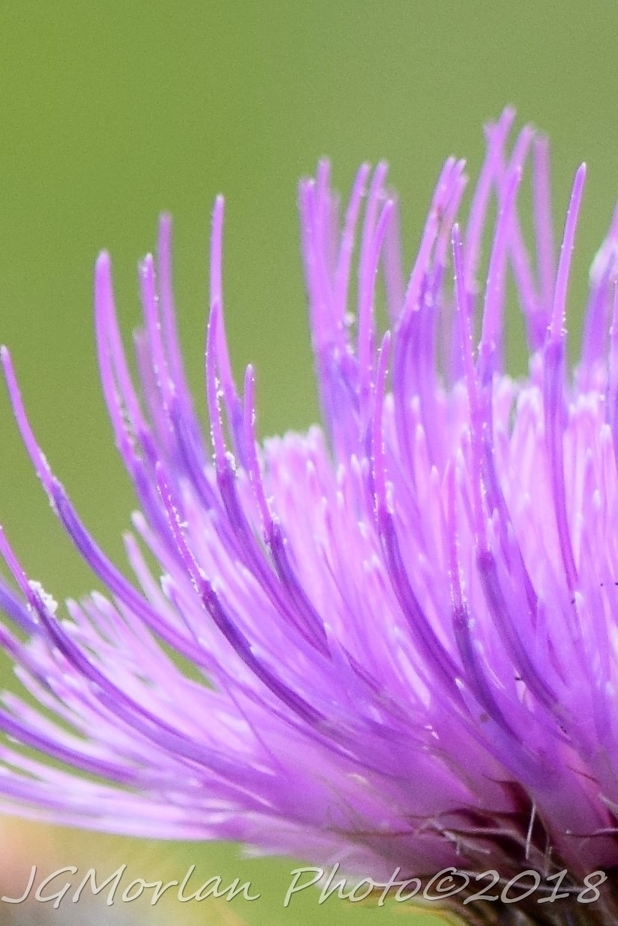 Close up of a wild thistle in full bloom