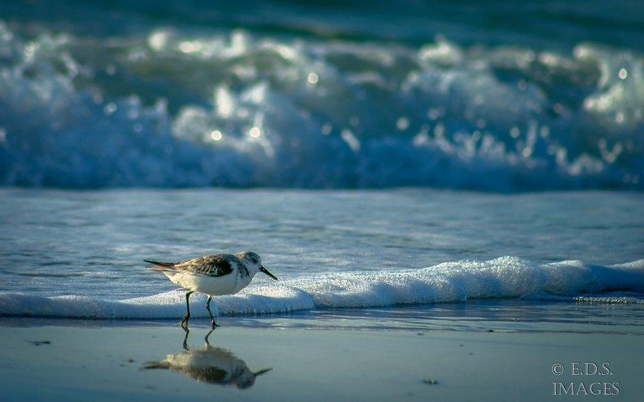 Sanderling chasing waves