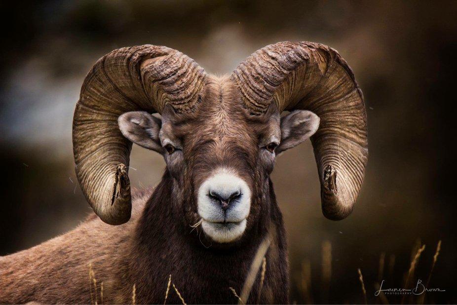 Bighorn Ram.