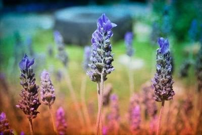 Lavender hues in a bush backyard.