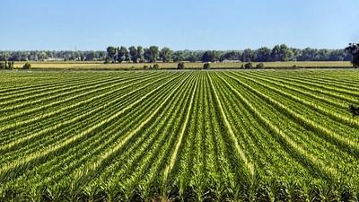 Detasseled  Corn rows