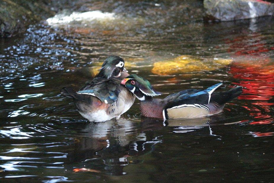 duck cuddles