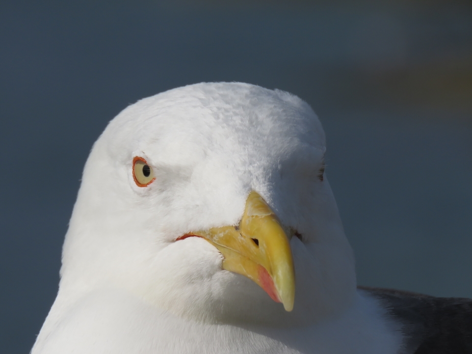 An attentive seagull strikes a pose.