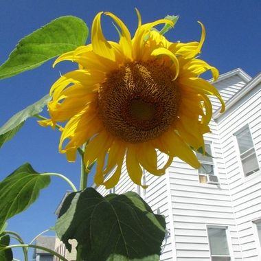 ~Photo Awards~  Peer Awards  Top 10 Class Top 10 class week 2 Top 10 class week 1  Every flower blooms in its' own sweet time.  Sunflower blooming in Manchester New Hampshire garden.