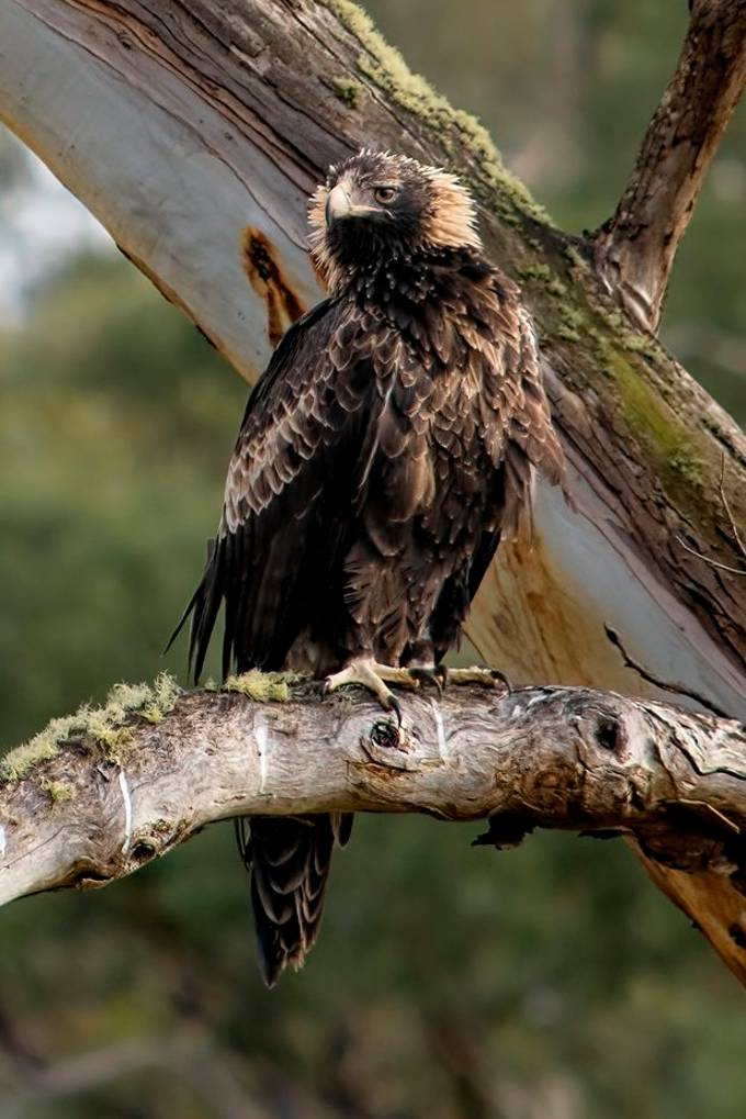 A rare Tasmanian WedgeTail Eagle