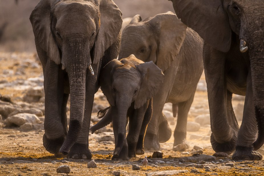 Namibia, end of dry season.  We focused on a herd of elephants. Those giants cooled off in a mud ...