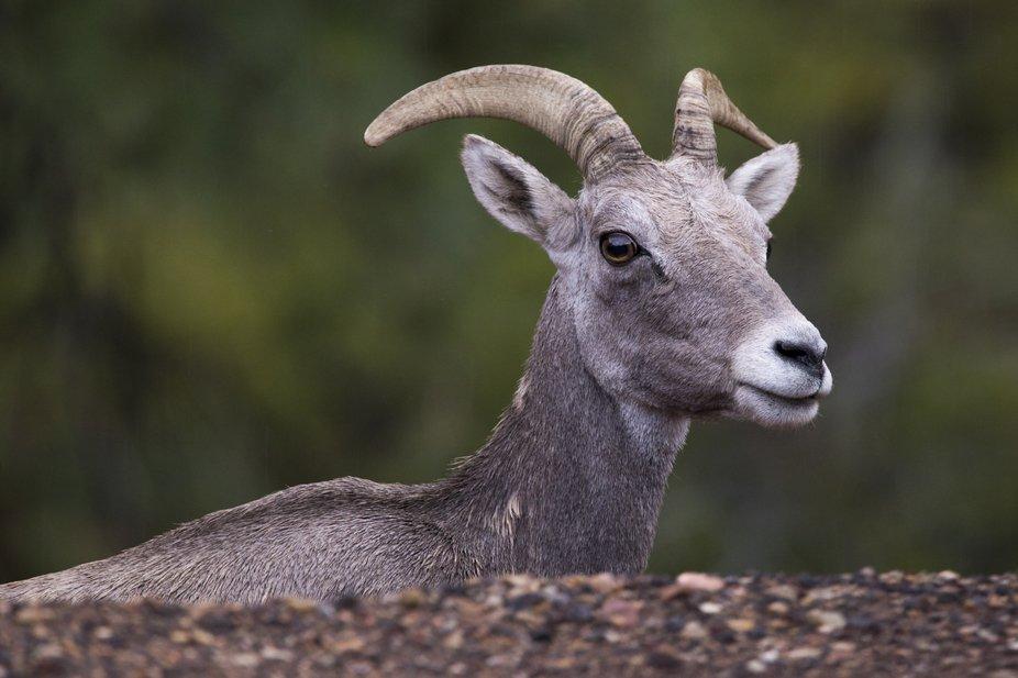 A wild desert bighorn sheep surveys his surroundings in southwestern Utah.