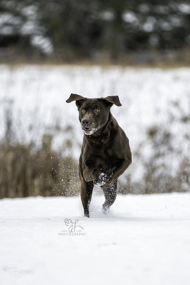 Buck The Chocolate Lab by Jenna_Lynn_Photography - Dogs In Action Photo Contest