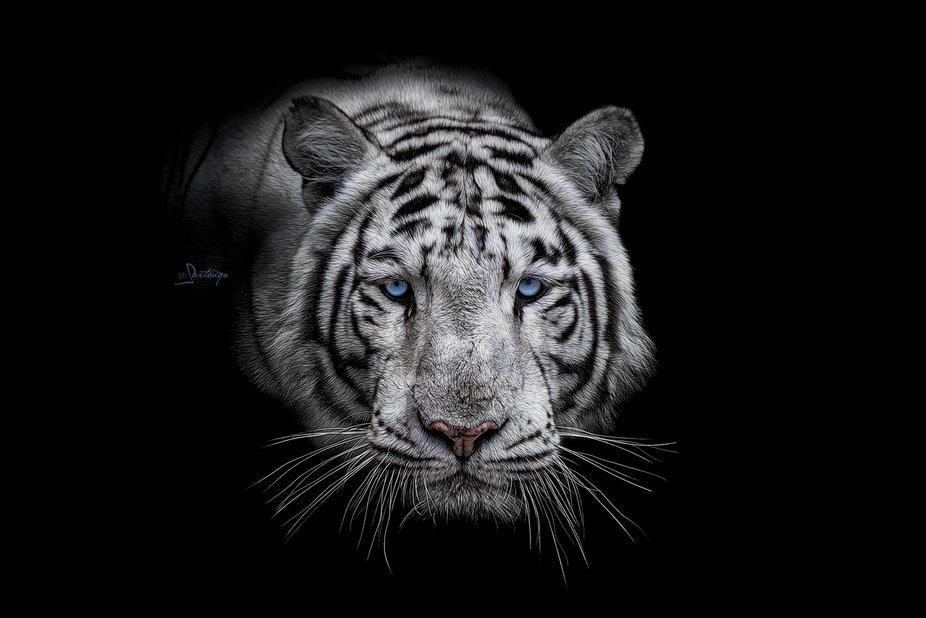 #savetheanimals // Animals In Black Collection  Bengal white Tiger // Panthera tigris tigris Popu...