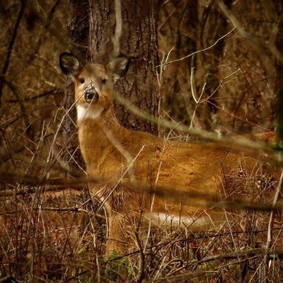 Young Whitetail working its way through woods.  #trailsend #whitetail #deer #wildlifephotography #wander #outthebackdoor #backyardnature #canon_photos #canonglobal #pocket_allnature #raw_allnature #got_greatshots #ig_wildlife #naturyst #zonephotographer #