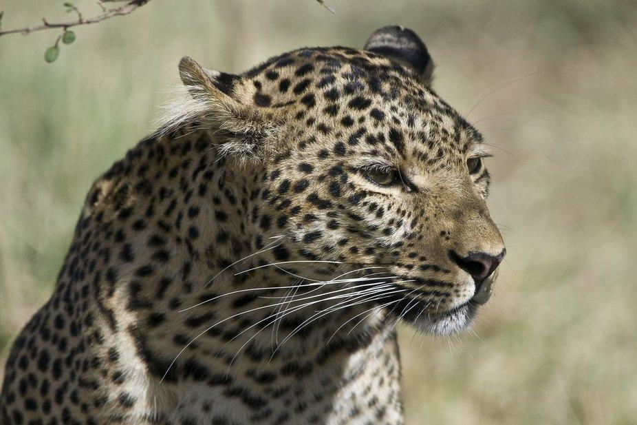 Leopard....  FIG from Mara Bush camp.