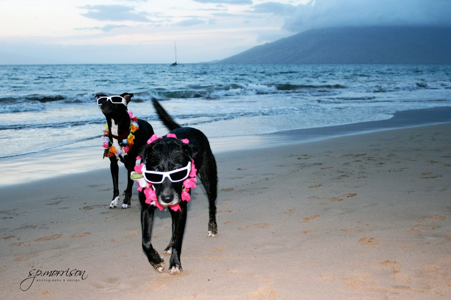 Even dogs love the beaches in Hawaii. I was very fortunate to come across these authentic Hawaiia...