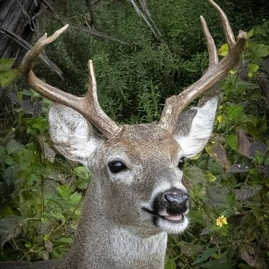 A young 8 point buck white tail deer with some obvious damage to his rack from the recent rut.