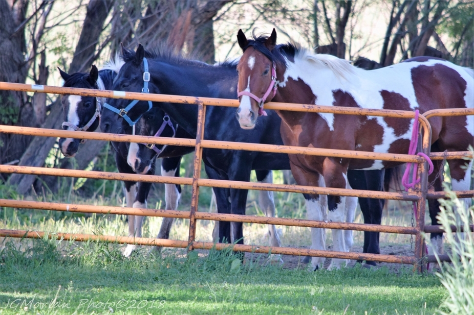 Our granddaughter's horses always want the grass on the other side of the fence. Three paint mares and one black quarter horse gelding.