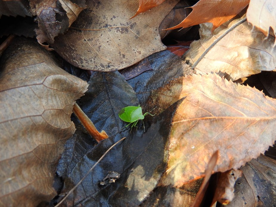 The green Stinkbug fell off.  Oops!