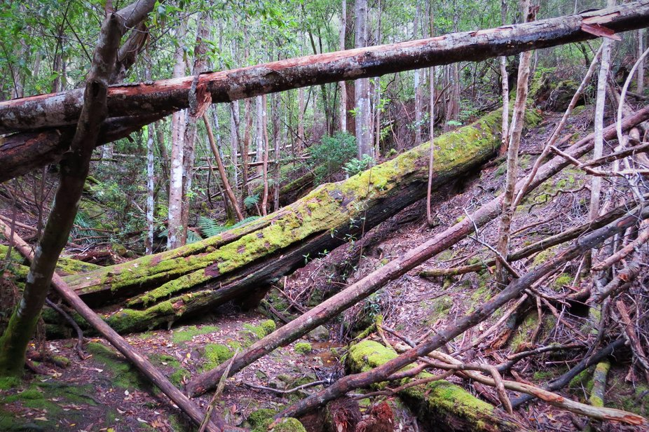 Rainforrest in Tasmania