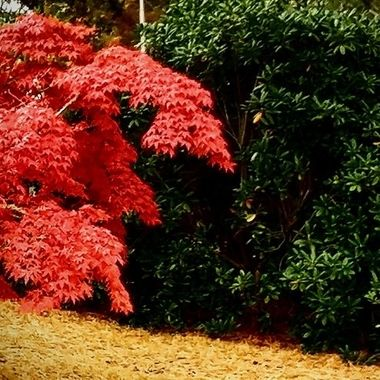 Green Bush, Red Tree