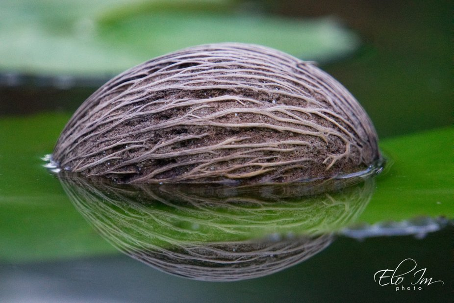 A young coconut fell on the green lotus leaf in a small pond. The coconut immerged on a half in the water together with the lotus leaf. And it created an unusual optical effect that you can see on the shot