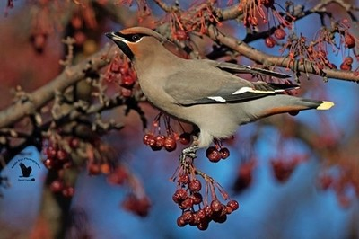 ... '???? The BOWA's Are Back In Town' . . In my opinion, one of the most beautiful birds to photograph in North America is the Bohemian Waxwing (BOWA). They are fun to shoot too... one of the reasons is because they rarely freak out when y