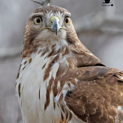 ... My Favorite of the 4 image set  Juvenile Red-tailed Hawk Parker River National Wildlife Refuge (PRNWR) Plum Island, MA, USA 11-29-18  Canon EOS 7D Mark II, EF500mm f-4L IS II USM (Auto Max 1600) ISO 640, f-4.0, 1-2500th Sec., (EFL) 800mm -0.33 Exposur