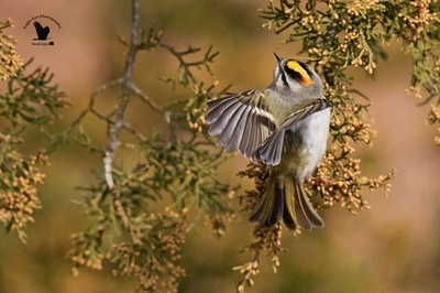 ... 'A Golden Crown' . . Back in the end of November I took a trip down to the PRNWR on Plum Island, MA.  The first bird to greet a couple of friends and me was this bouncing Kinglet.  This is the most beautiful Kinglet I have ever seen.  Never