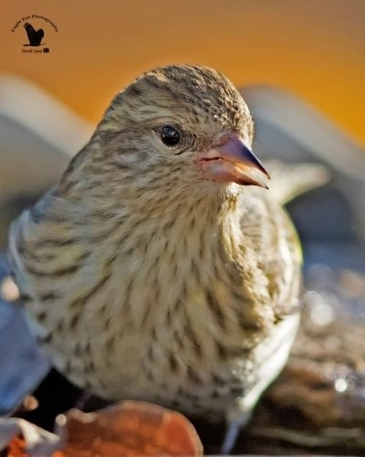... 'So relaxing!' . . A Pine Siskin in my heated water bath. Part of 'The Feeder Tree Cafe' & Spa' Yard Birds - Concord, NH, USA 11-11-18 . . Canon EOS 7D Mark II, EF500mm f-4L IS II USM (Auto Max 1600) ISO 1000, f-4.0, 1-320