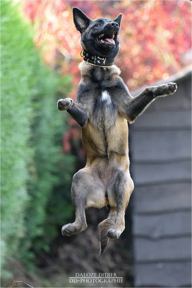 The Malinois by didierdaloze - Dogs In Action Photo Contest