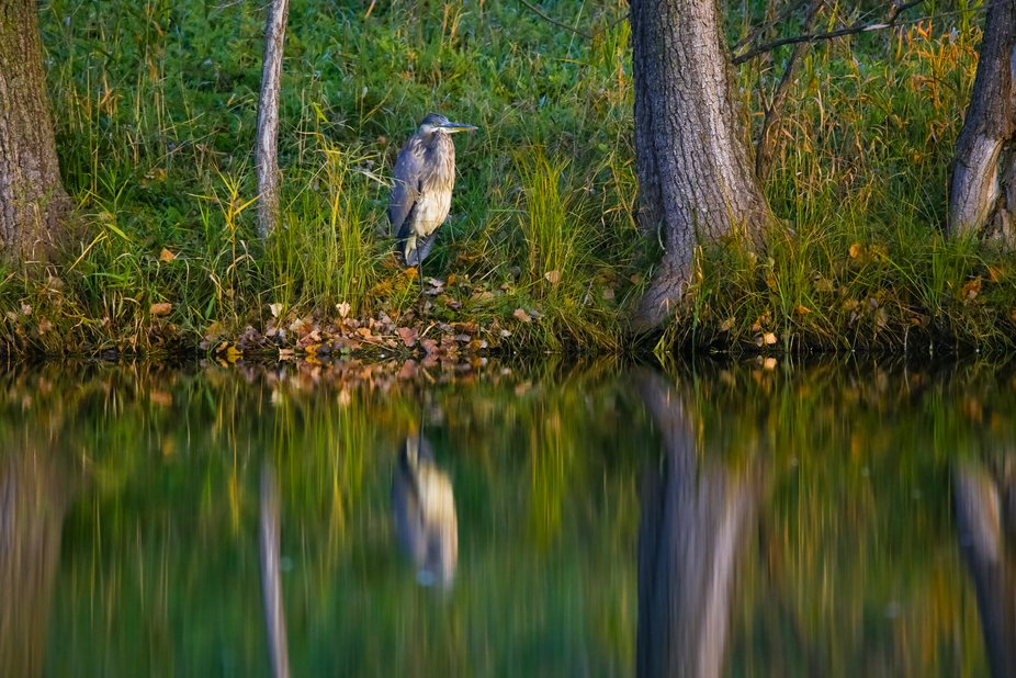 Great Blue reflections