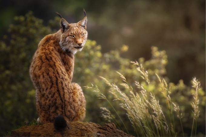 Lynx portrait with a special lights at sunset. by Sergio_Saavedra - Social Exposure Photo Contest Vol 20