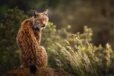 Lynx portrait with a special lights at sunset.
