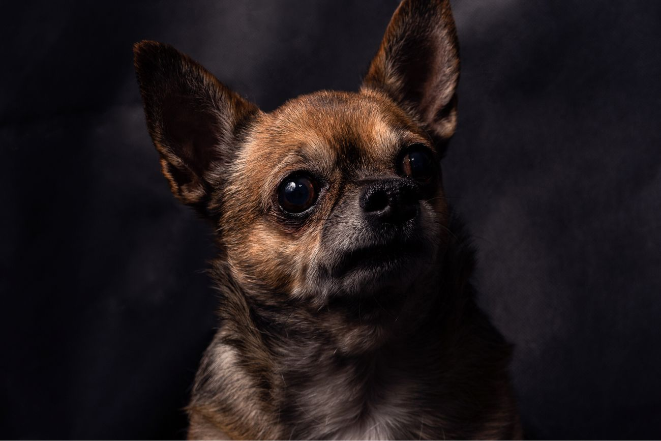 My Chihuahua.