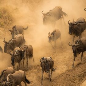 Blue wildebeest migrating across Mara river