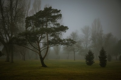 Trees among the fog