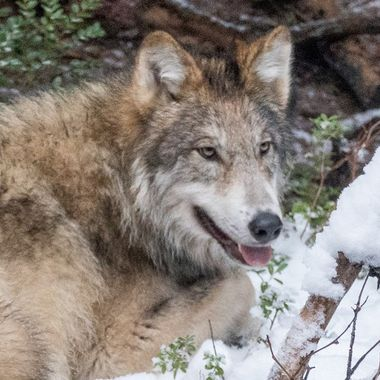 Timber Wolf 2