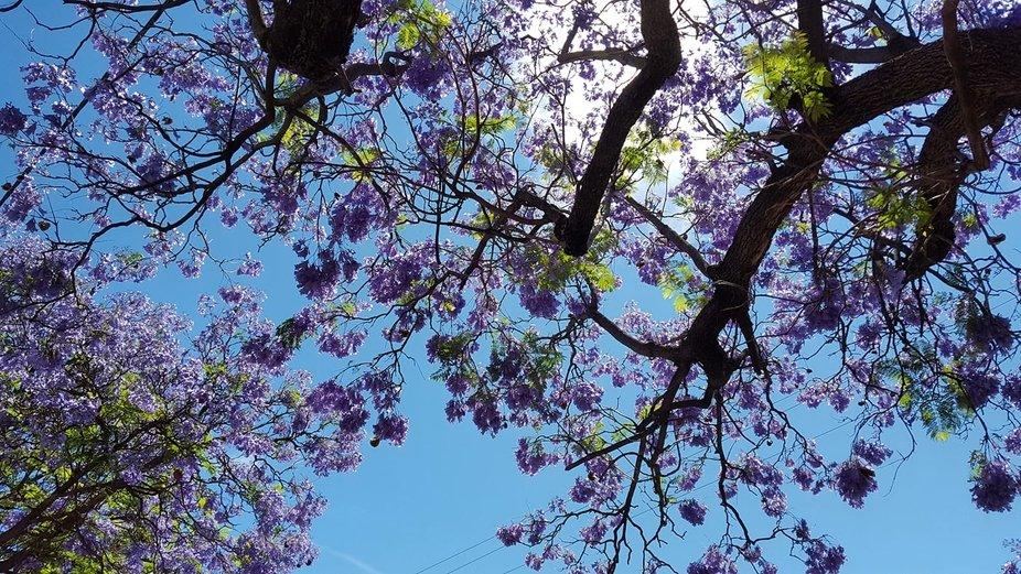 Beautiful Jacaranda