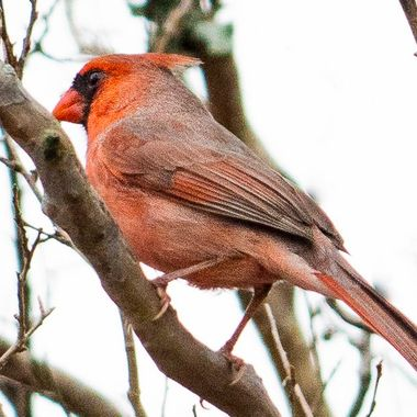 A red northern cardinal near lake Travis, Texas.