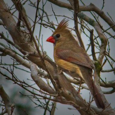 A northern cardinal near lake Travis, Texas.