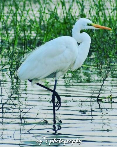 White Heron #wildlife #wildlifephotography #wildlifeplanet #photography #photo #photooftheday #instagood #instagram #netgeo #natgeo #natgeowild #nationalgeographic #bird #birds #photographer #instagood #instapic #instagram #insta #instaphoto #picture #pic