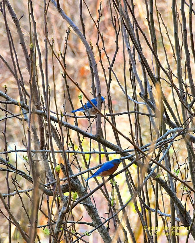 Bluebirds Among the Limbs