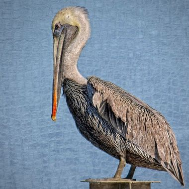 A stylized portrait of a Port Aransas Texas brown pelican
