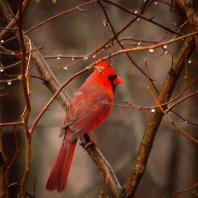 Northern Cardinal on a rainy afternoon.  #trailsend #northerncardinal #rainyday #birding #birdwatching #birdphotography #outthebackdoor #backyardnature #canon_photos #canonglobal #best_birds_of_world #bird_brilliance #pocket_birds #raw_birds #best_birds_o