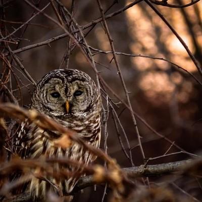 Barred Owl in a tangle of trees at sunset.  #barredowl #sunset #bokeh #birding #birdwatching #birdphotography #canon_photos #canonphotography #canonglobal #elite_raptors #best_birds_of_world #pocket_birds #raw_birds #bird_brilliance #got_greatshots #natur