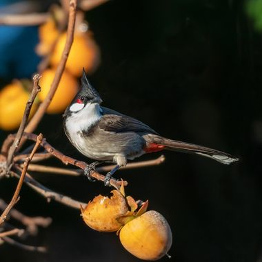 You know you are blessed when you are awakened in the morning by the sound of this beautiful bird eating the fruits in your backyard...